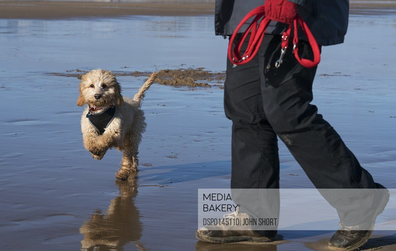 A small dog runs on the wet beach as the owner walks along holding the leash; South Shields, Tyne and Wear, England