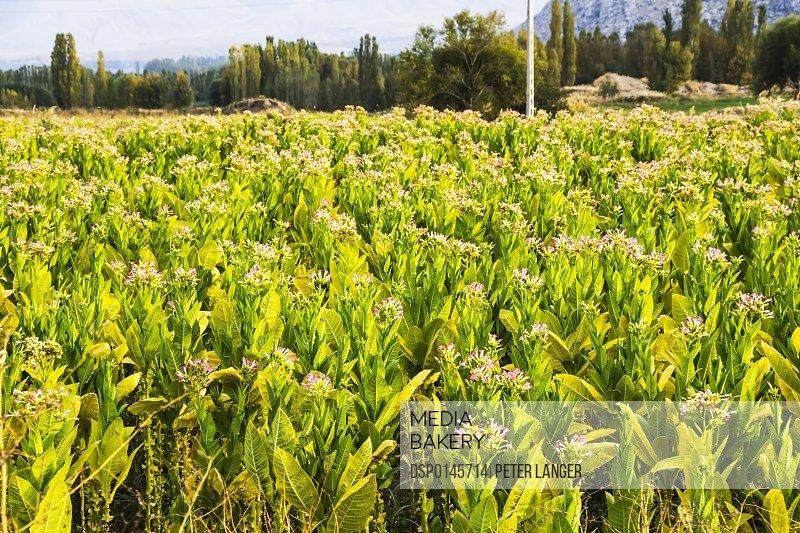 Flowering tobacco fields; Bastam, West Azerbaijan, Iran