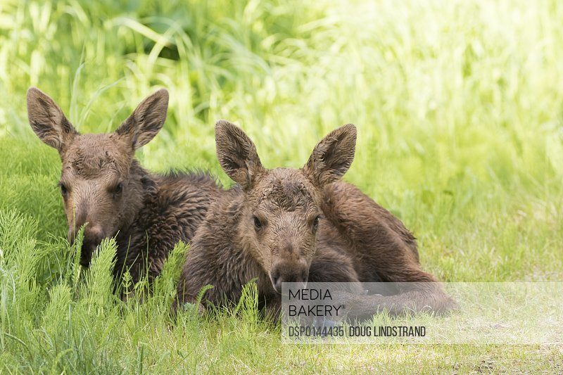 Moose (alces alces) calves laying together while their mother feeds nearby, South-central Alaska; Anchorage, Alaska, United States of America