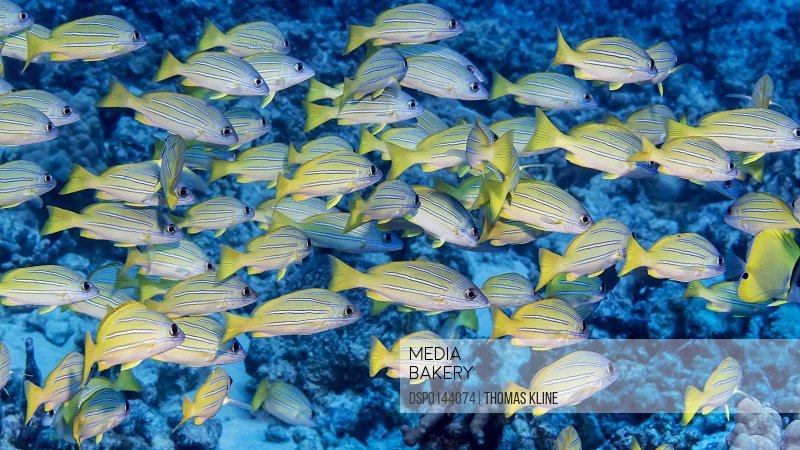 Bluestripe Snapper (Lutjanus kasmira) schooled at the dive site Turtle Haven on the Kona Coast; Kona, Island of Hawaii, Hawaii, United States of America