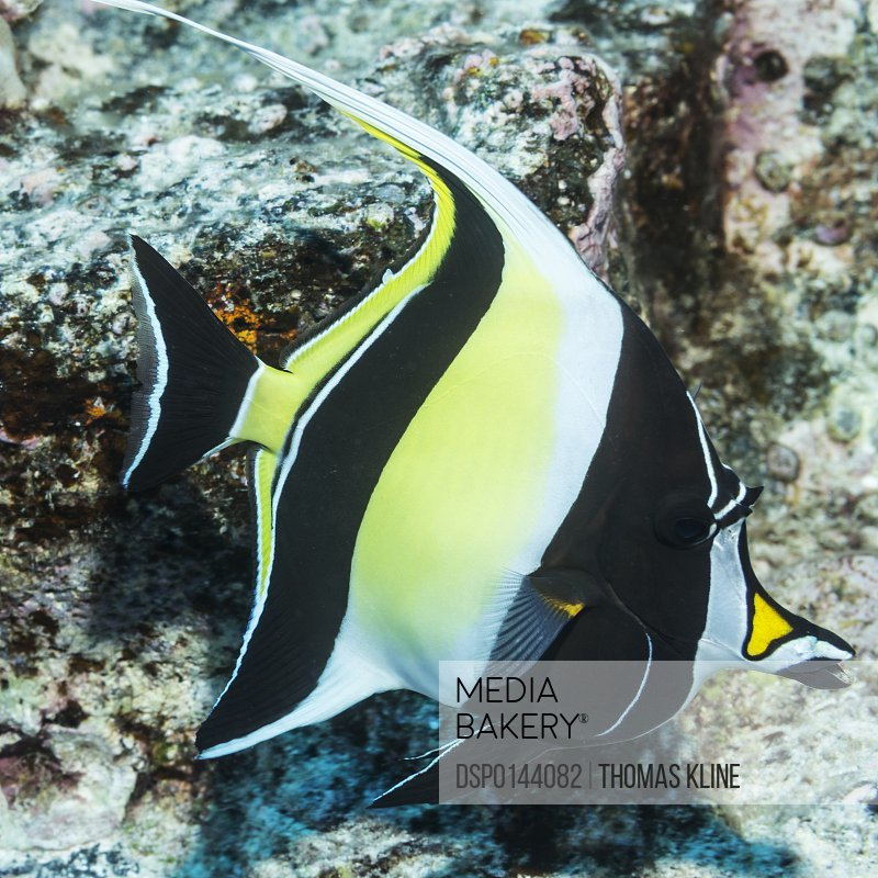 Moorish Idol (Zanclus cornutus) photographed while scuba diving the Kona coast; Kona, Island of Hawaii, Hawaii, United States of America