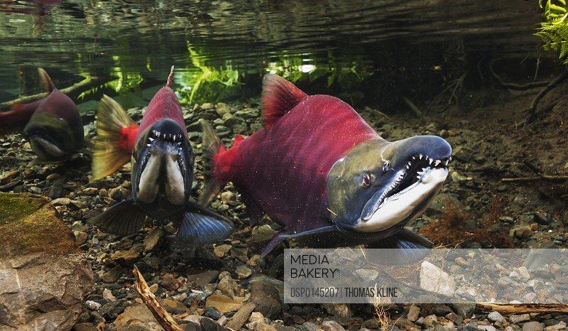 Underwater view of competing male sockeye salmon (Oncorhynchus nerka) in Power Creek near Cordova, Alaska in the summer; Alaska, United States of America