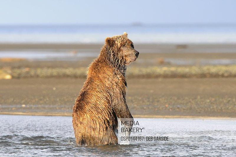 Brown bear (ursus arctos) fishing, Katmai National Park; Alaska, United States of America