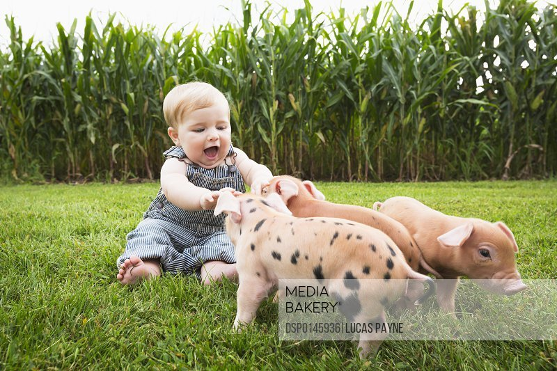 Infant boy playing with young pigs on a farm in Northeast Iowa; Iowa, United States of America