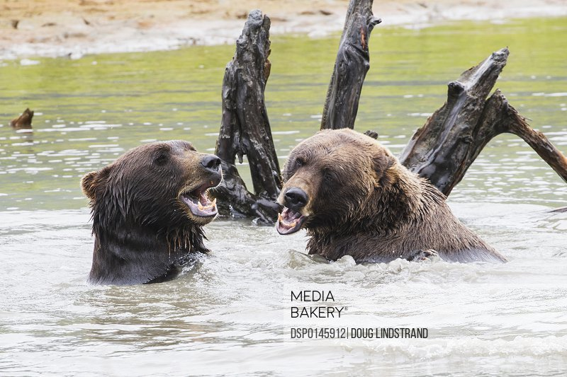 Brown bears (ursus arctos) play in the pond in the Alaska Wildlife Conservation Center, South-central Alaska; Portage, Alaska, United States of America
