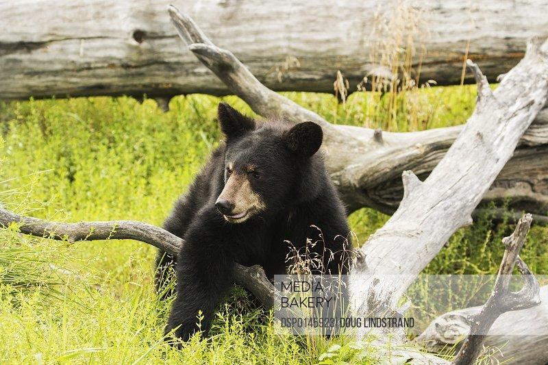 Black bear cub (ursus americanus), captive in Alaska Wildlife Conservation Center; Portage, Alaska, United States of America