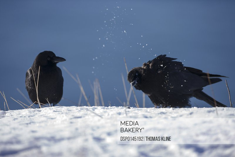Two northwestern crows (Corvus caurinus) perched on snow in winter near Cordova and Prince William Sound; Alaska, United States of America