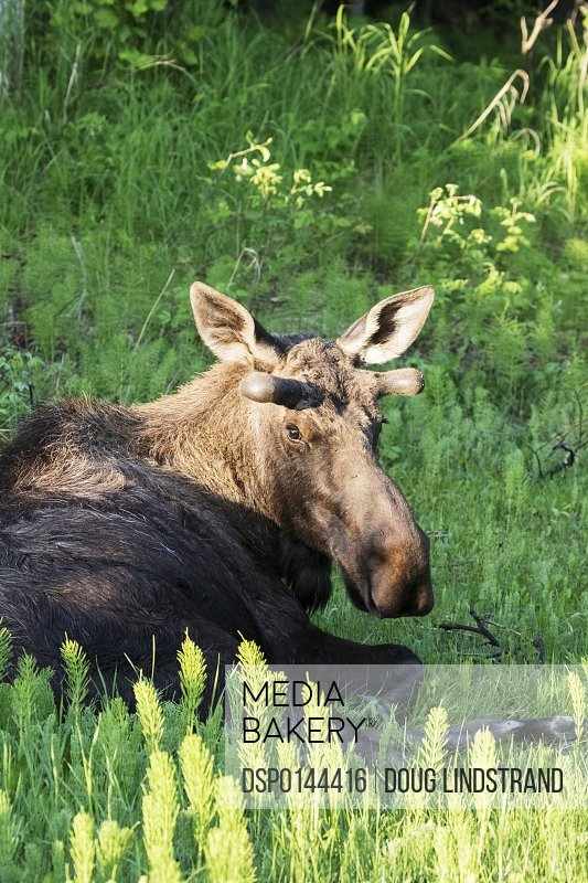 Resting bull moose (alces alces) near Kincaid Park in spring, antlers just starting to grow, looking towards camera; Anchorage, Alaska, United States of America
