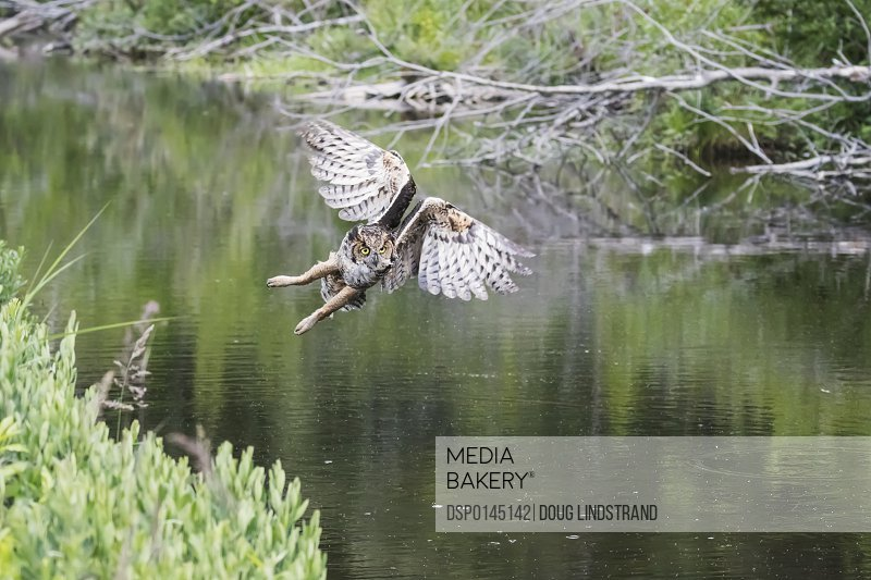 Flying Great Horned Owl (Bubo virginianus) flying and hunting for muskrats in a small pond next to Potter Marsh, South-central Alaska; Anchorage, Alaska, United States of America