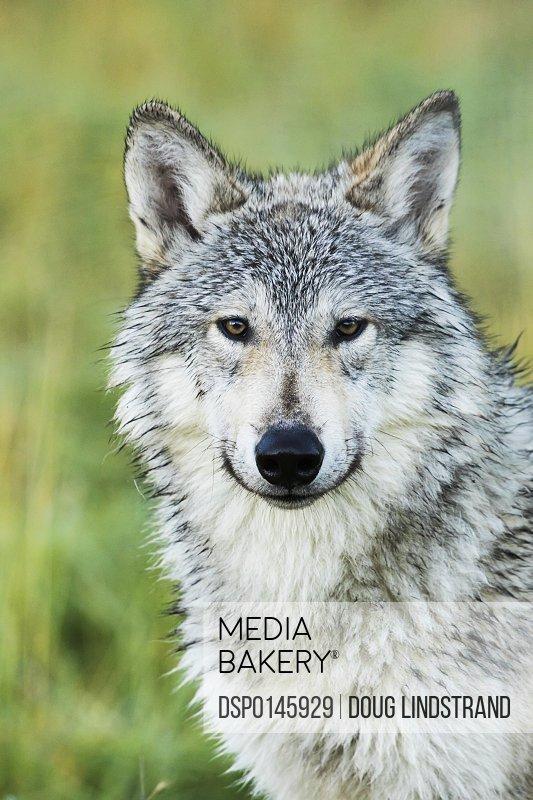 Immature female wolf (canis lupus), captive at the Alaska Wildlife Conservation Center, South-central Alaska; Portage, Alaska, United States of America
