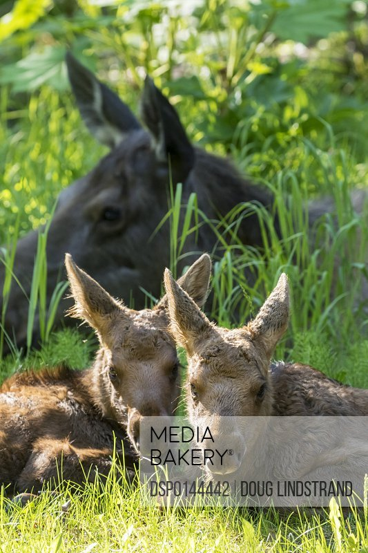 Moose (alces alces) calves feeding and resting close to their mother, South-central Alaska; Anchorage, Alaska, United States of America