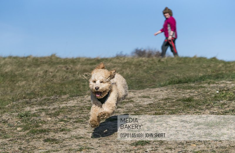A dog runs on a hillside towards the camera with a woman walking in the background; South Shields, Tyne and Wear, England