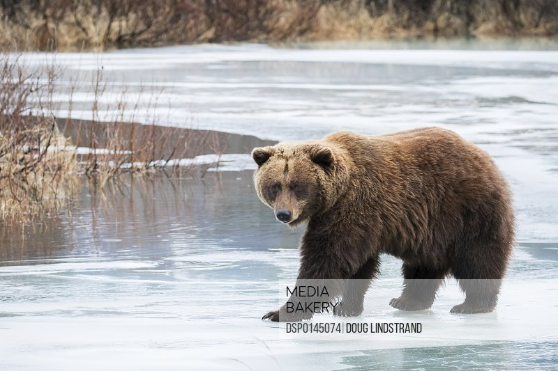 Brown bear (ursus arctos) crosses the ice during a low snow winter, captive at the Alaska Wildlife Conservation Center, South-central Alaska; Portage, Alaska, United States of America