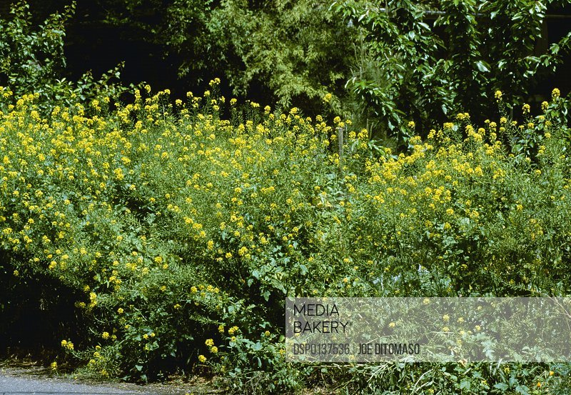 Mediabakery photo by design pics agriculture weeds white agriculture weeds white mustard sinapis alba flowering plants california mightylinksfo