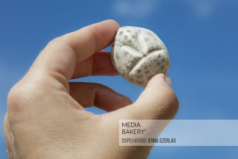 A Close up Of A Sand Dollar Being Held In Fingertips; St. Croix, Virgin Islands, United States of America