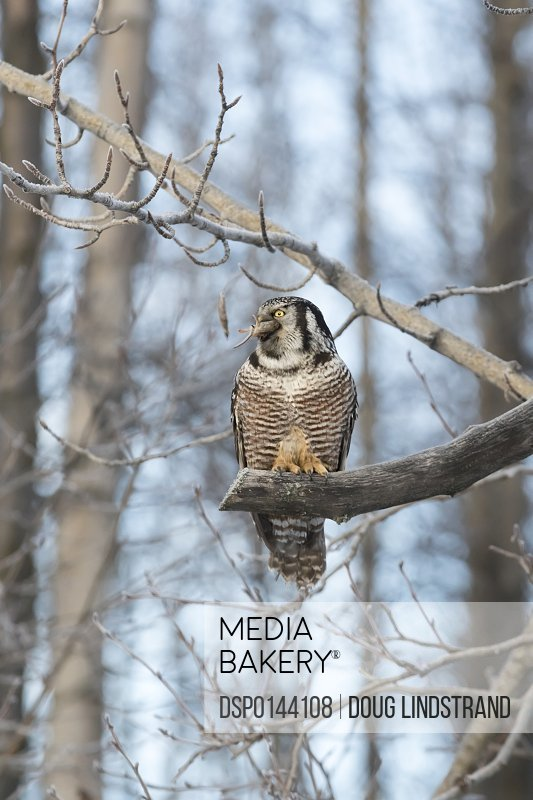 Hawk Owl (Surnia ulula) hunting for vole near the Anchorage Airport in winter, south-central Alaska; Alaska, United States of America
