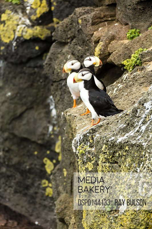 Horned Puffins (Fratecula corniculata) perched on the cliffs of St. Paul Island, Southwest Alaska; Alaska, United States of America