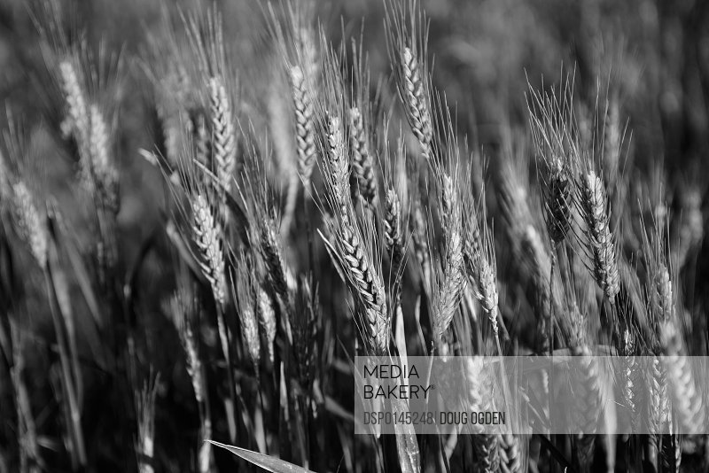 Black and white image of barley grain in the rolling fields in Palouse County of Eastern Washington; Washington, United States of America