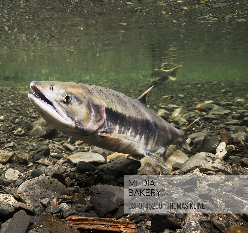Underwater view of a female pink salmon (Oncorhynchus gorbuscha) probing with her anal fin in Hartney Creek near Cordova, Alaska in the summer; Alaska, United States of America