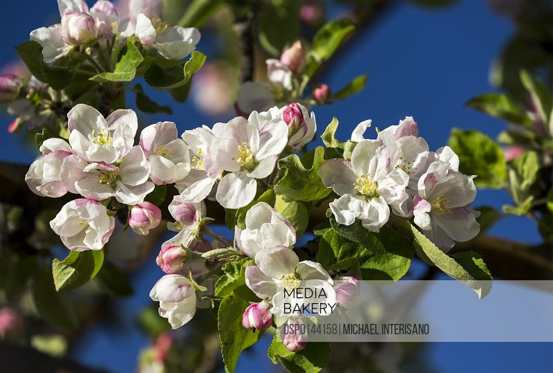 Close up of a cluster of apple blossoms in bloom with deep blue sky in the background; Calgary, Alberta, Canada