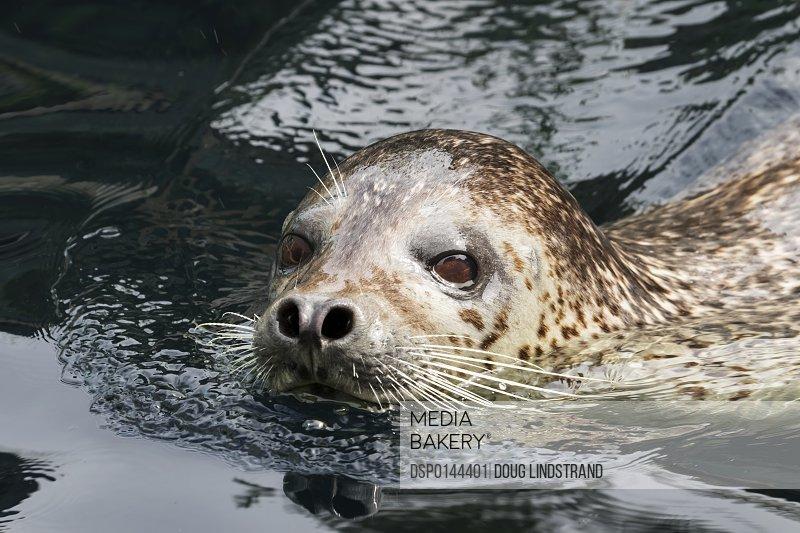 Harbour seal (Phoca vitulina) looking at the camera; Alaska, United States of America