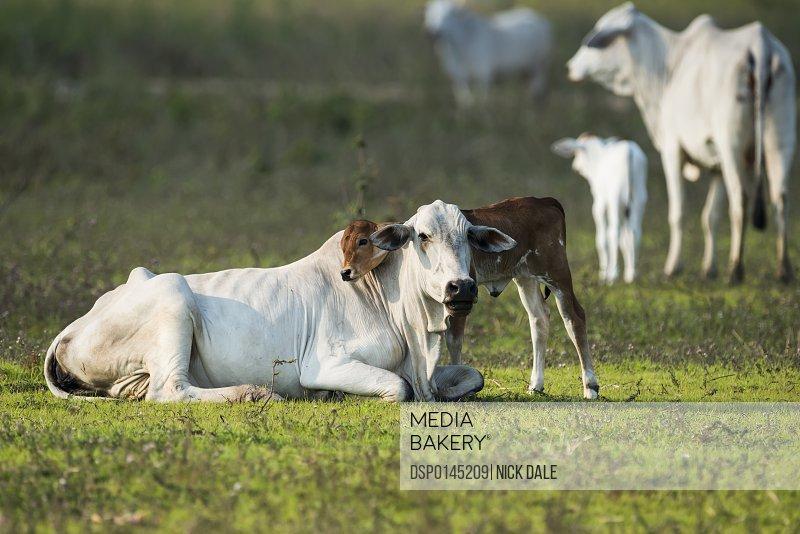 Khillari calf resting it's head on mother; Mato Grosso do Sul, Brazil