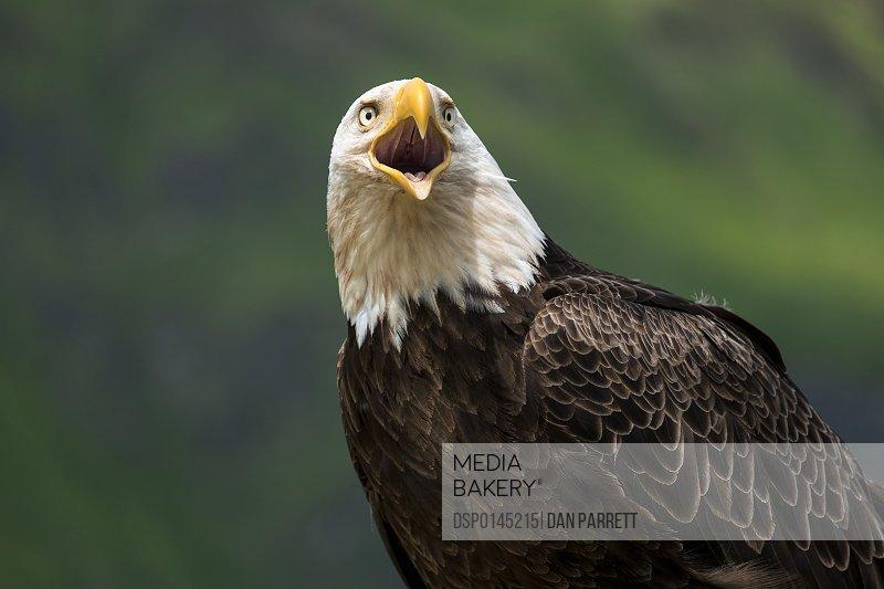 Close up of the head and beak of a Bald eagle (Haliaeetus leucocephalus) calling; Unalaska, Alaska, United States of America