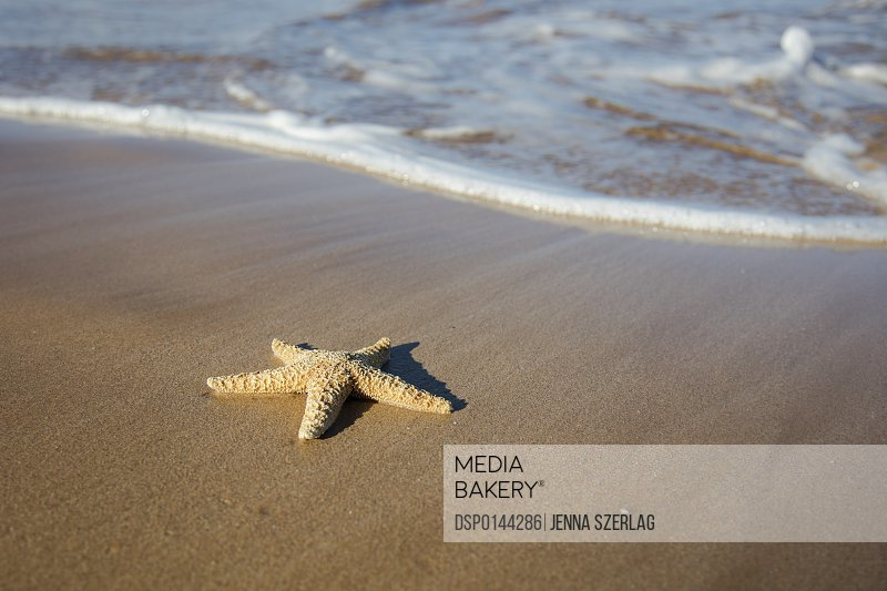 Sea Star Washes Ashore On A Beach; Maui, Hawaii, United States of America