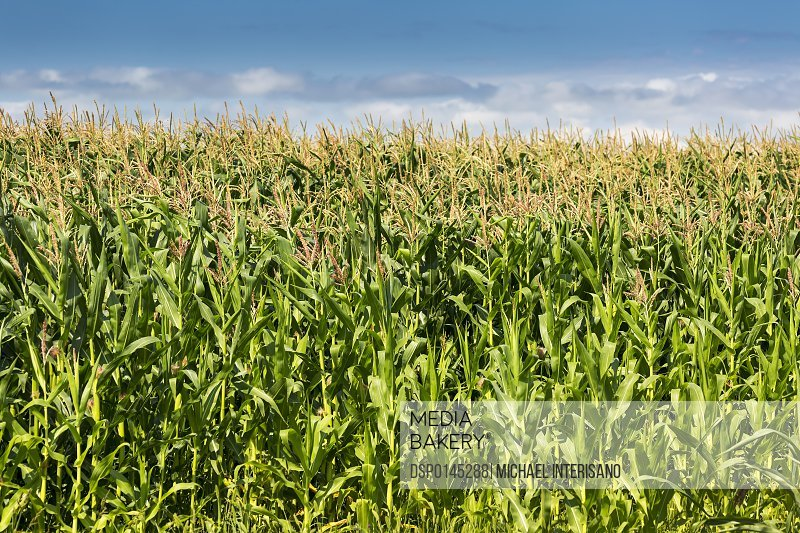 Corn field with blue sky and clouds, North of Taber; Alberta, Canada