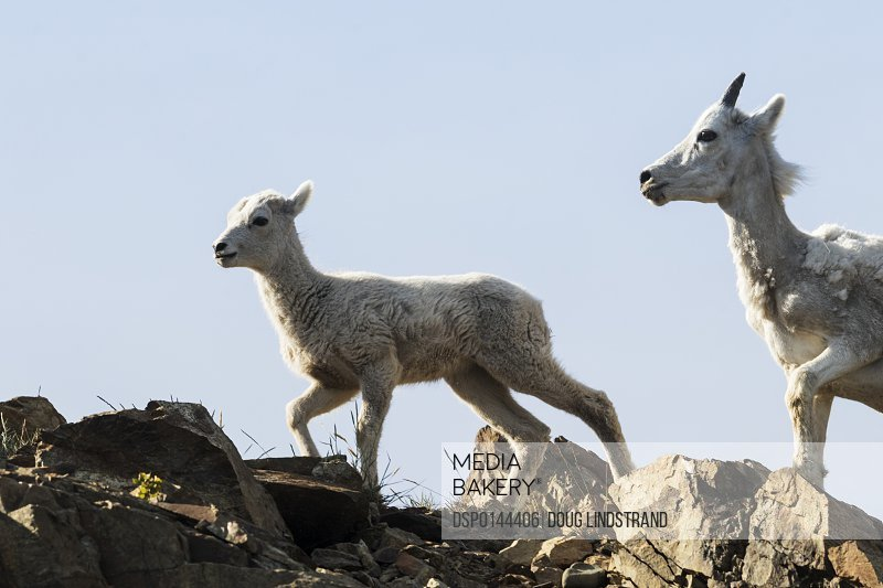 Dall sheep (ovis dalli) ewe and lamb South of Anchorage near Windy Point at Mile 106 Seward Highway; Alaska, United States of America