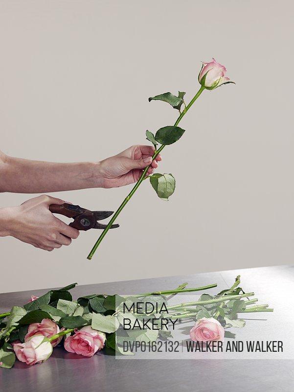 Woman cutting rose stems
