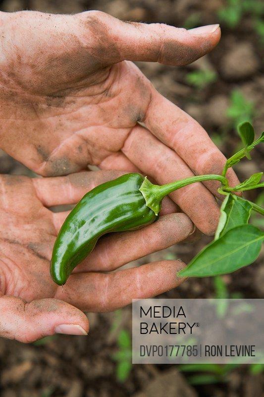 Farmer inspecting unripe hot pepper fruit