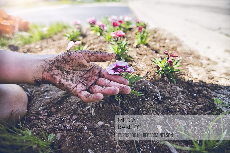 child's hand, covered in soil, delicately holding a dianthus flower