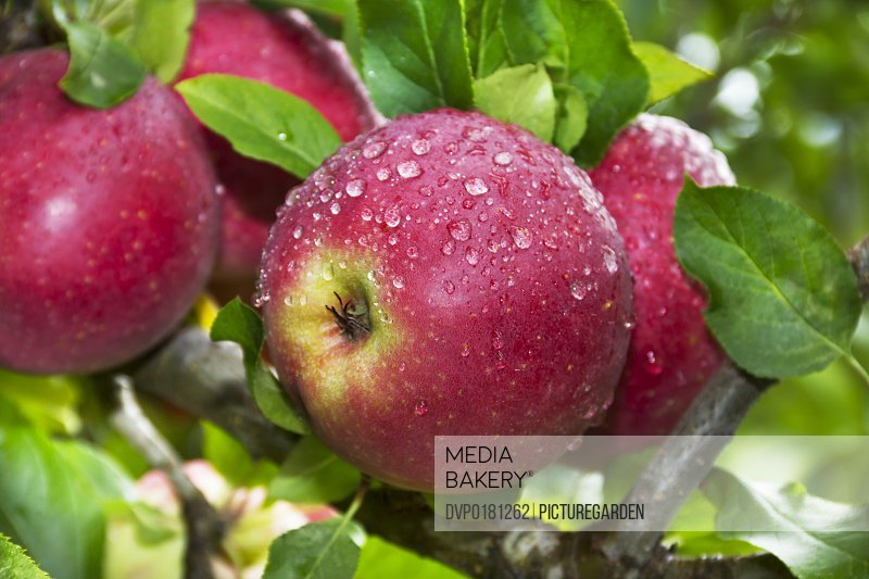 ripe wet apples on tree after rain