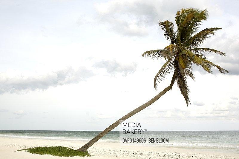 Bent Palm Tree on Beach