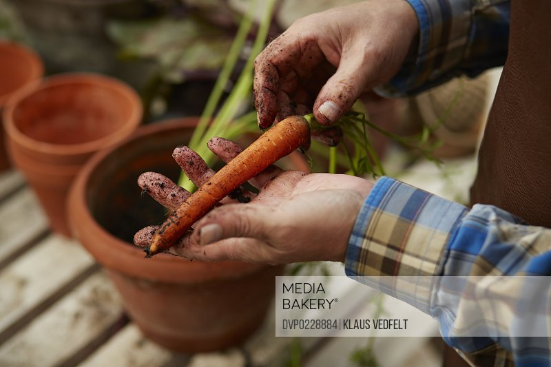 Man holding freshly picked carrot in greenhouse