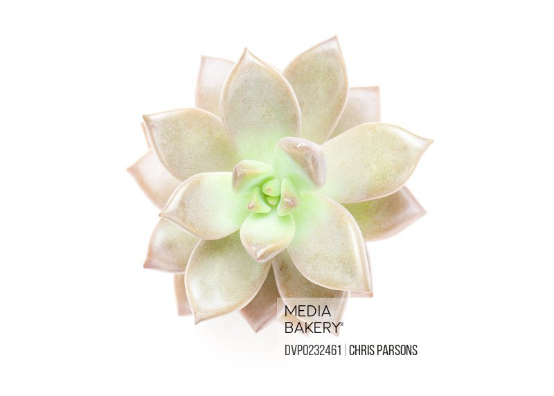 Succulent plant on white