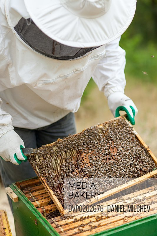Beekeeper inspecting a honey and bees frame.