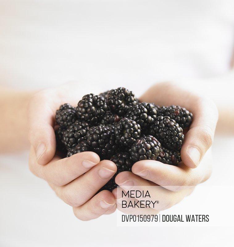 Hands full of fresh blackberries.