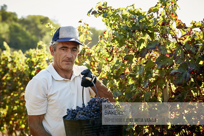 Confident famer holding grapes bucket