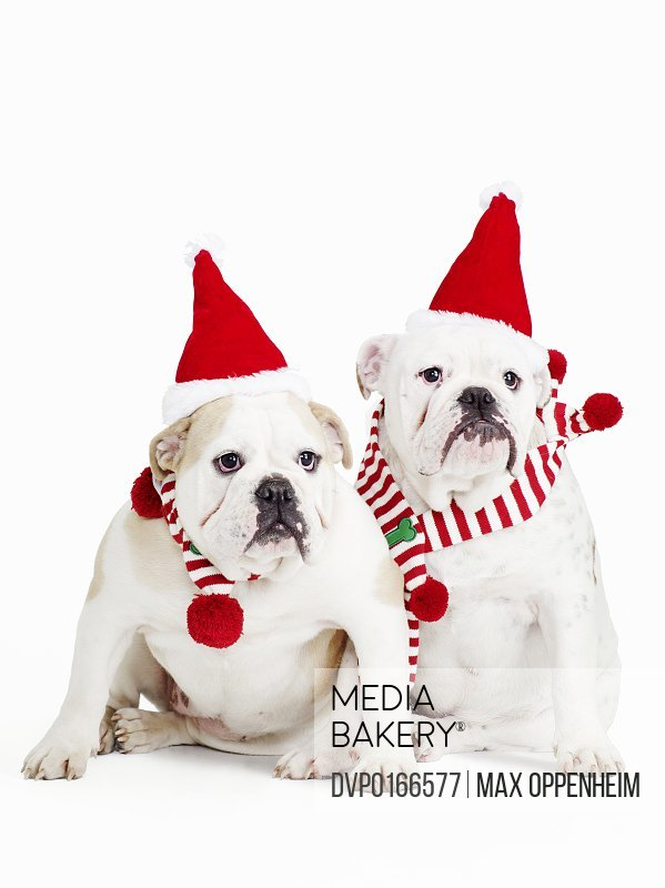 white background male and female bulldogs santa hats stripy scarves portrait