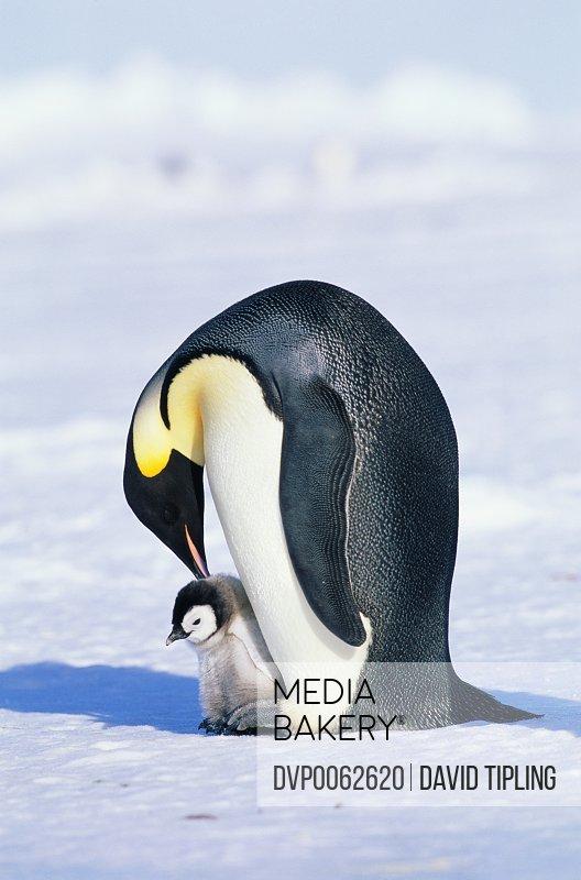 Emperor penguin and chick (Aptenodytes forsteri)
