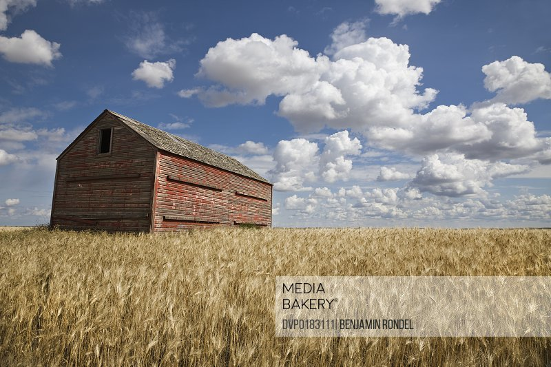 Old wooden barn in field before harvest