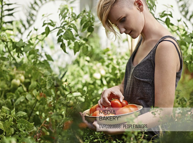 A beautiful young woman woman picking home-grown tomatoes in her garden