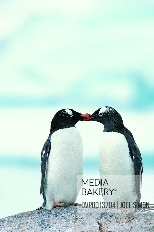 Two Penguins touching beaks