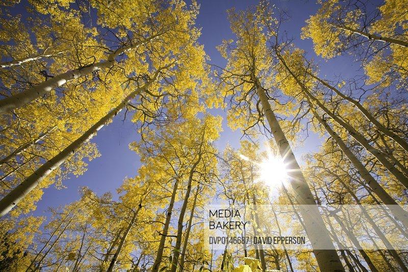 Aspen trees in fall season