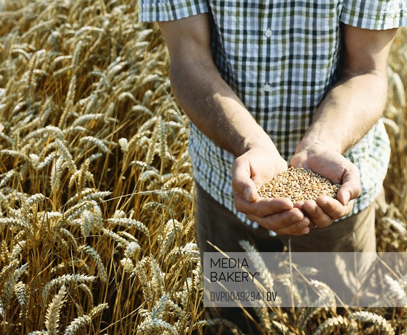 Man Standing in a Wheat Field Holding Wheat Grain in His Cupped Hands