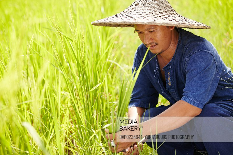 A Thai farm worker kneels and harvests rice