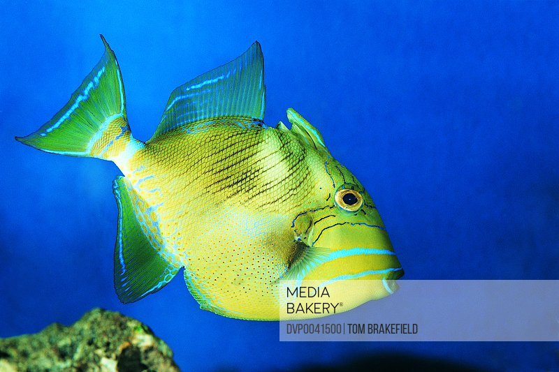 Queen Triggerfish Swimming in the Ocean