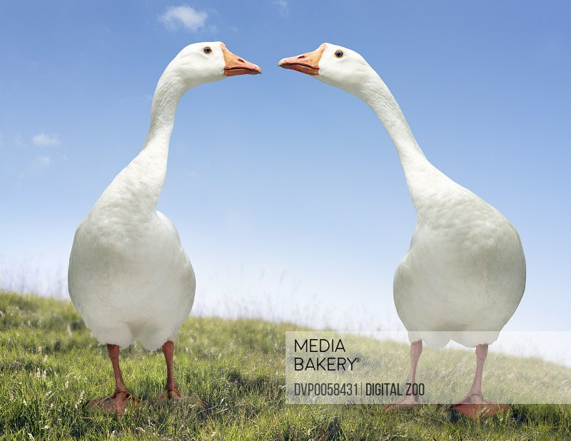 Two Geese Looking Face to Face